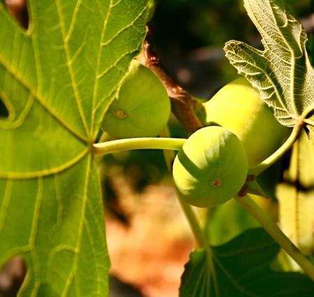 feuille de figuier: Méditerranée figure gorgées de soleil sur son arbre Banque d'images