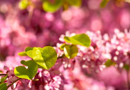 Judas Tree Flower And Leaves Cercis Sİliquastrum  Close up Stock Photo