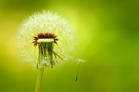 fluff: A Dandelion Blown By The Wind With a Seed Hanging On
