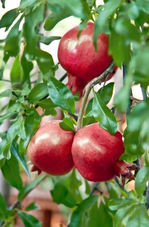 Organic Pomegranate Ripening On It Branch photo