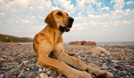 dog rock: A dog laying on the rocky beach.