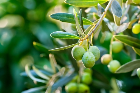 portugal agriculture: Young Olive On A Branch