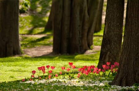 A Row Of Red Tulips In The Woods