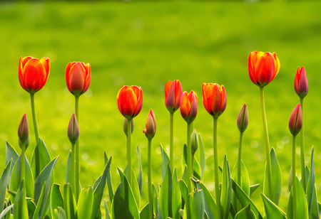 A Line Of Yellow and Orange TulipsA row of yellow and orange tulips on a sunny day
