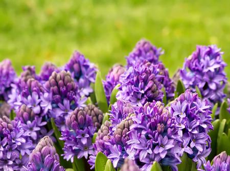 A Garden Of Purple Hyacinth As Closeup