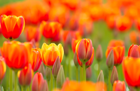 Bright Yellow Orange Tulips In A Field On A Sunny Day