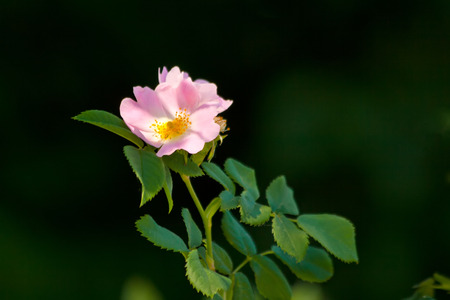 Macro Of A Pink Rose In A Garden