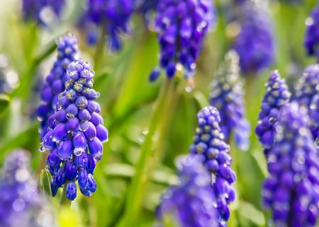 Purple Muskari Armeniacum Flower With Rain Drops Stock Photo