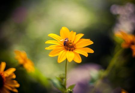 camomile: bee on camomile Stock Photo