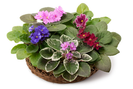african basket: African violet saintpaulia arranged in a basket isolated on white background Stock Photo