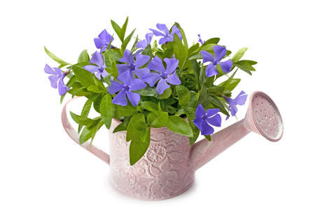 watering pot: watering pot spring periwinkle isolated on white background