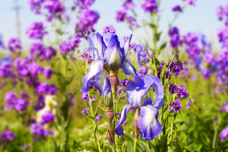 graceful blue iris flowers on a background of wildflowers