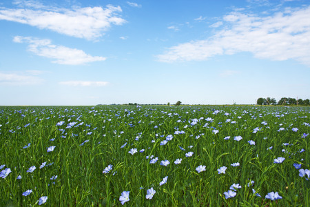blooming blue flax in a farm field and light clouds in the blue sky