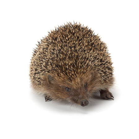 spiked hair: cute young hedgehog isolated on white background