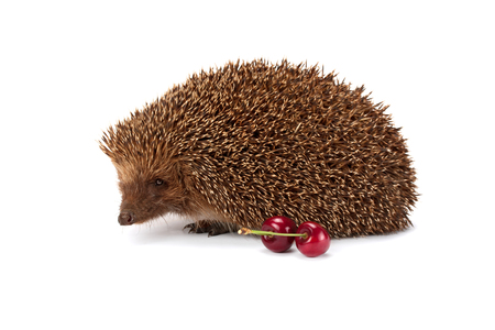 spiked hair: hedgehog and a sprig of cherry isolated on white background