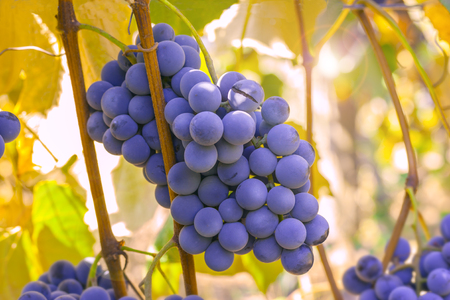 grape: Ripe grapes ready for harvest in the sunlight Stock Photo