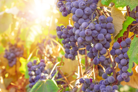 Ripe grapes ready for harvest in the sunlight Banco de Imagens