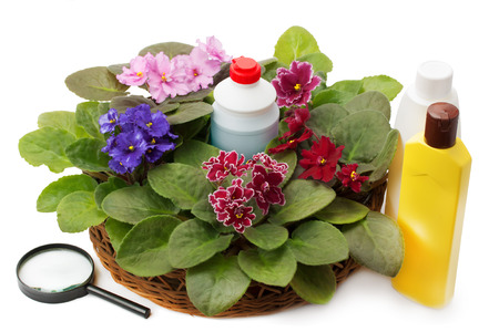 insecticide: african violet saintpaulia chemical fertilizers, pesticides and insecticide isolated on white background