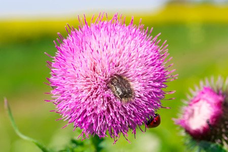 essences: Prickly milk thistle in all its splendor on a greenish unfocused background. Medicinal plant in the natural environment.