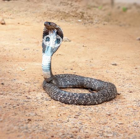 serpiente cobra: Cobra real deslizamiento a lo largo serpiente venenosa m�s larga del mundo .La de arena.