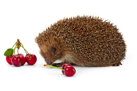 sprig: hedgehog and a sprig of cherry isolated on white background