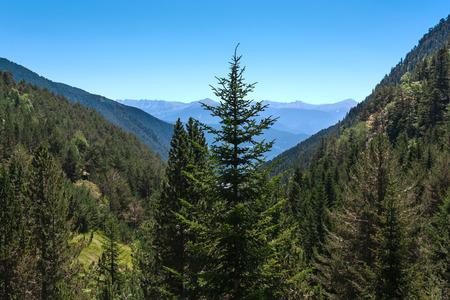 pine spruce: Pine, spruce in an alpine meadow against mountain peaks.