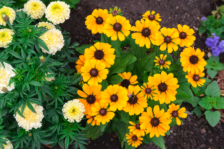 bright eyed: Bright yellow rudbeckia or Black Eyed Susan flowers and tagetes in the garden . Stock Photo