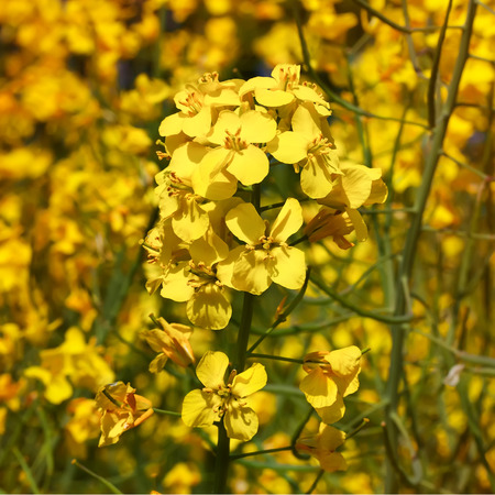 oil rape: Blooming canola flowers close up with blooming oil seed rape field in the background.