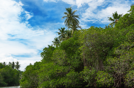 backwater: Tropical palm forest on the river bank. Tropical thickets mangrove forest on the island of Sri Lanka.