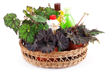 Beautiful begonias and chemical fertilizers, pesticides and insecticides in a basket isolated on white background .Hybrid begonia Tiger Paws Eyelashes or begonias with green leaf pattern and Dark Mambo.
