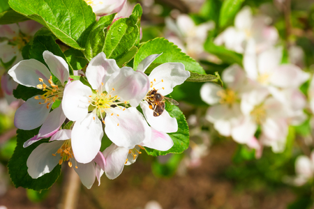 honey bee collects nectar on the flowers apple trees