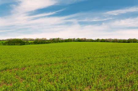 green bean: Summer landscape with green field and blue sky. Stock Photo