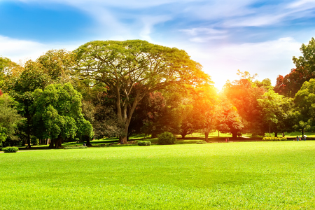 glades: Sunny landscape.Ficus benjamina and large evergreen trees by a green lawn under bright sun in Peradeniya Botanical Gardens. Kandy, Sri Lanka. Stock Photo