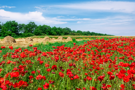 Field of red poppies and collected in stacks of hay in a meadow against a blue sky with cirrus clouds. Beautiful spring rural landscape.