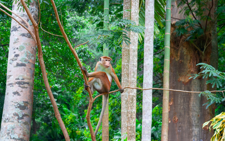 Toque macaque monkey, Macaca Tit, male sitting on a branch. Green tropical forest island of Sri Lanka.