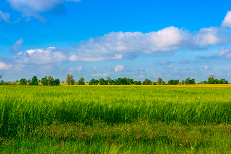 Wheat field against blue sky with white clouds. Agriculture scene.