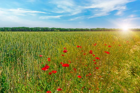 Wheat field with bright red poppies against the blue sky with white clouds. Sunny summer day on the farm. Stock Photo