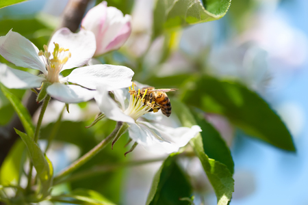 The bee collects the nectar from the apple blossom. Foto de archivo