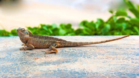 A lizard basks in the sun . Reptiles in the wild in Sri Lanka. 版權商用圖片