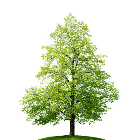 linden: isolated tree Stock Photo