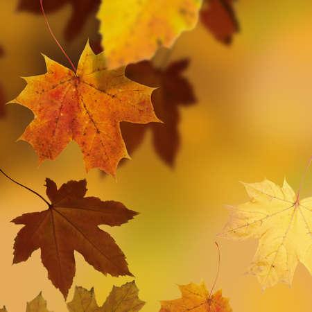 autumnal background with  Maple tree, season design, selective focus photo