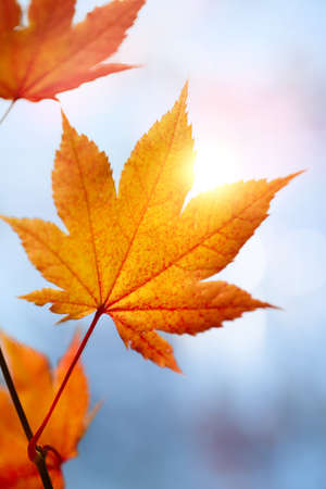 red maples: autumn leaves against the blue sky and sun, selective focus Stock Photo