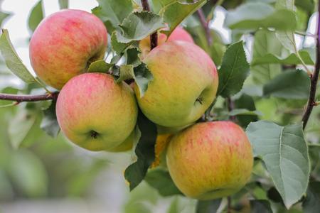 manzanas rojas frescas en la ramificación en el jardín
