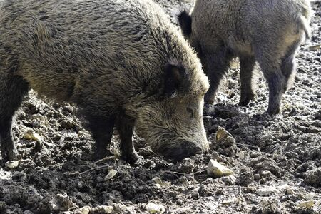 Wild boar rooting for food in mud. Banque d'images - 142149382