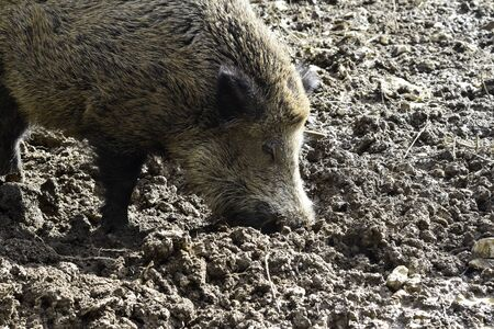 Wild boar rooting for food in mud. Banque d'images - 142149381
