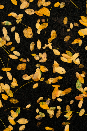 gold textured background: Fallen yellow leaves on the ground after a rain in the autumn day.
