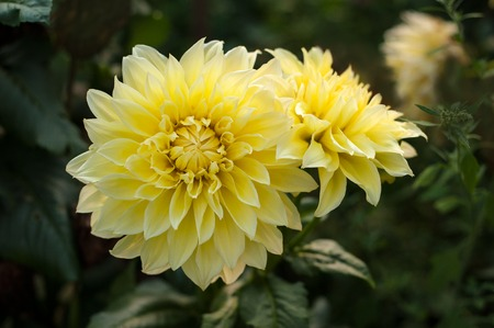 Yellow dahlias brighten the suns rays in the garden in the summer. Stock Photo