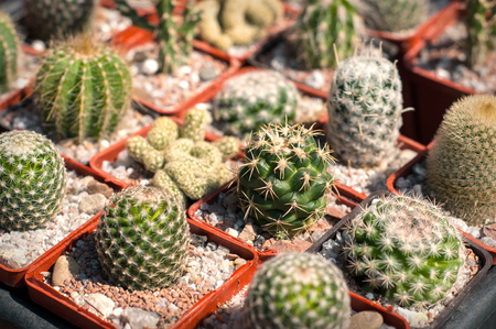 Selective focus on a different species of small cactus in pots. Many pots with different cactuses for sale in the open city market.