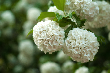 Blooming of beautiful white flowers in the summer garden.
