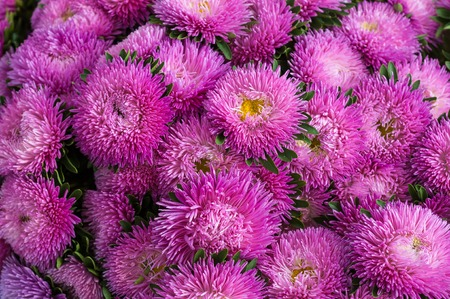 Frilly pink asters in the summer garden. Bouquet of blooming Callistephus chinensis.